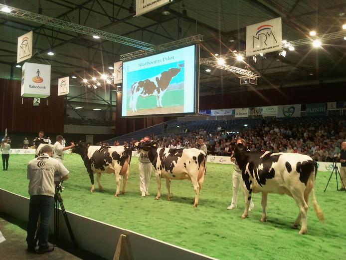 Koeienshow tijdens de Nationale Rundvee Manifestatie