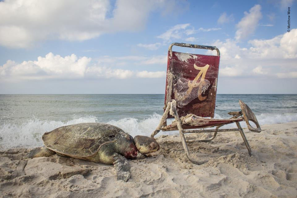 De meest bedreigde. Een zeldzame Kemps zeeschildpad zit op het strand van Alabama gevangen in een lus van een strandstoel. Wildlife Photographer Of The Year