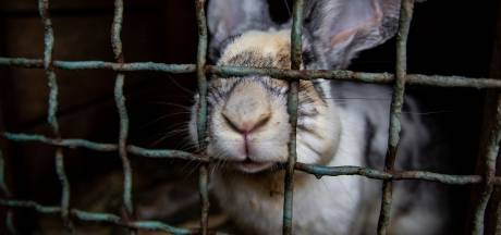 Animal Rights toont beelden van dierenleed bij konijnenfokkers door heel Nederland