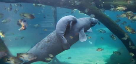 Jonge zeekoe Burgers' Zoo overleden