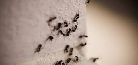 Nieuwe mierensoort in Nederland ontdekt langs oever van de Dommel