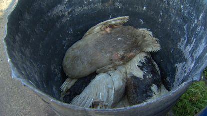 500 eenden sterven na actie Animal Resistance