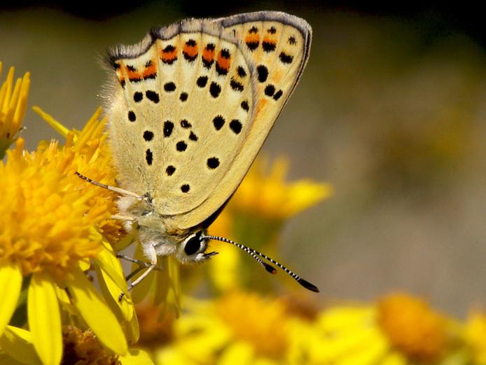 De bruine vuurvlinder, al tientallen jaren verdwenen uit Brabant.