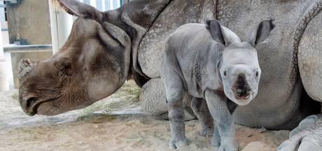 Uniek: zeldzame neushoorn geboren door kunstmatige inseminatie