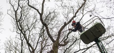 Droogte en ziekte zitten Zwolle dwars: 700 bomen gaan nog deze winter voor de bijl