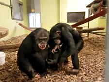 Het is de dag van de aap! Dus hoe is het met mensenchimp Marria?