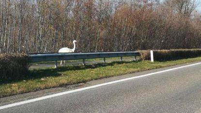 Grote loopvogel paradeert langs N76