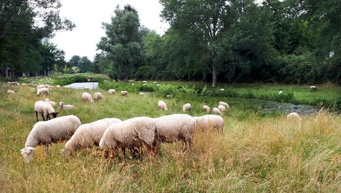 Schaapjes zover het oog reikt, intussen al bekend gezicht in Roosendaal hier vlakbij het Dijkcentrum. Schapen worden gebruikt om het gras kort te houden in de Roosendaalse wijken.