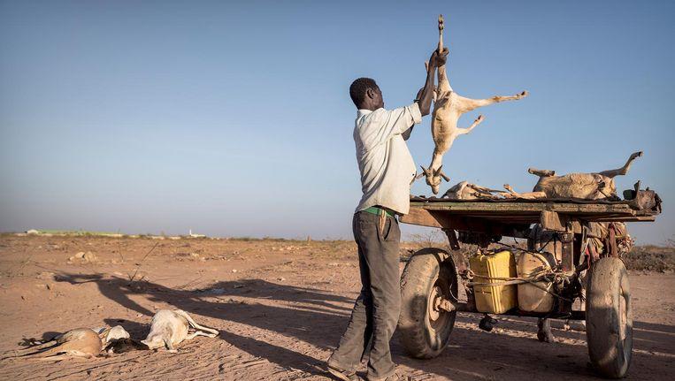 Een man laadt door de droogte gestorven geiten op zijn kar om ze buiten Burao te verbranden en op die manier de uitbraak van ziekten te voorkomen. Beeld Sven Torfinn