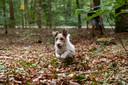 Hond Max dendert door dorre bladeren in een bos op de Veluwe. Het lijkt wel herfst, maar het is 'nog maar' augustus. Op de achtergrond kijkt zijn baas naar de spelende hond.