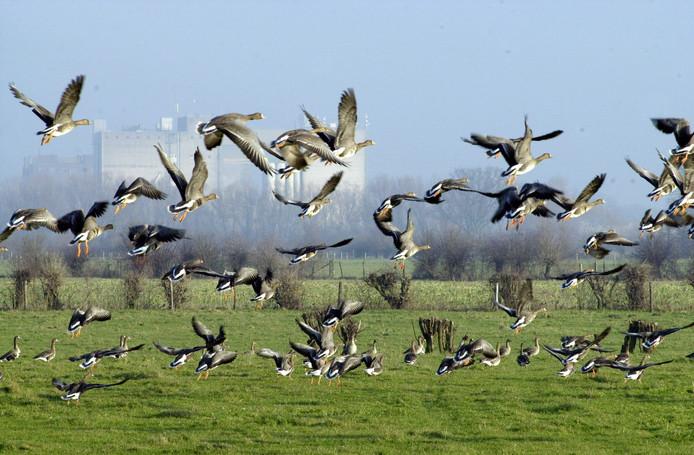 Wilde ganzen zorgen voor flinke schade aan agrarische gewassen. Hun uitwerpselen vervuilen bovendien het grasland.