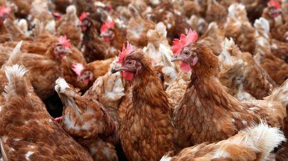 Vogelgriep rukt op: in heel Nederland ophokplicht voor pluimvee, niet in België
