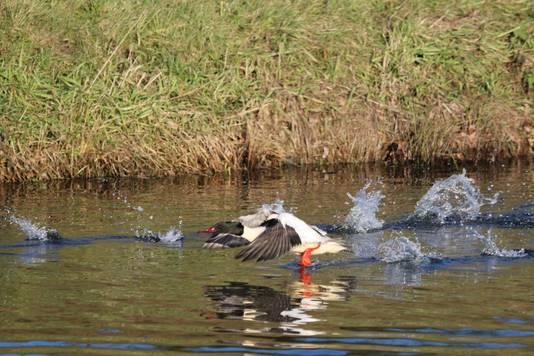 Het stromend houden van het water in de Schipbeek is ook van belang voor watervogels, zoals hier in Borculo.