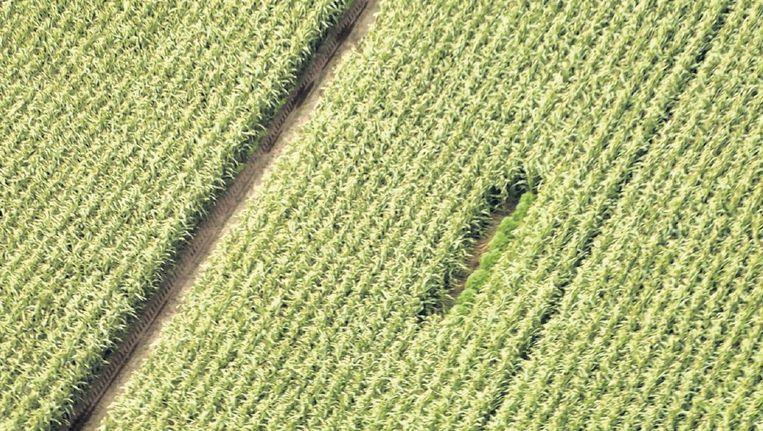 Met behulp van luchtopnames tracht de politie de soms maar vijf tot tien wietplanten per perceel op te sporen. Vanaf de weg zijn ze tussen het hoge mais niet te zien. Beeld