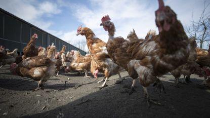 Al veertigtal pluimveebedrijven besmet met H3-vogelgriep