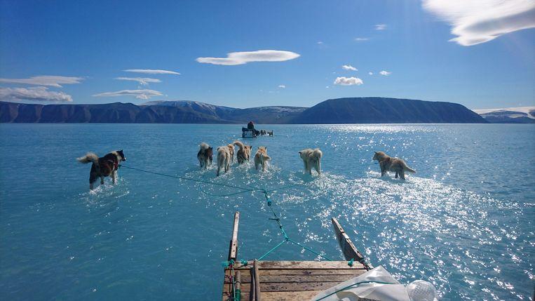 Sleehonden waden door het water in het noordwesten van Groenland. Het zeeijs is hier doorgaans zo dik dat smeltwater maar moeilijk weg kan vloeien. Door de hete omstandigheden stond er vorige week extreem veel water op het ijs. Wetenschappers tweetten dat ze erop vertrouwden dat de honden de weg wisten. Beeld AFP