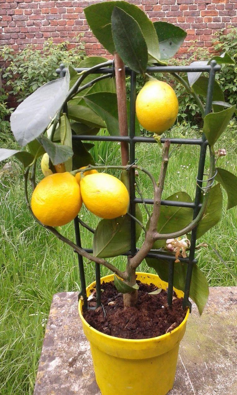 Verpot jonge planten jaarlijks, oudere planten om de drie tot vijf jaar. Doe het in mei of juni, wanneer de boom al goed aan de groei is.