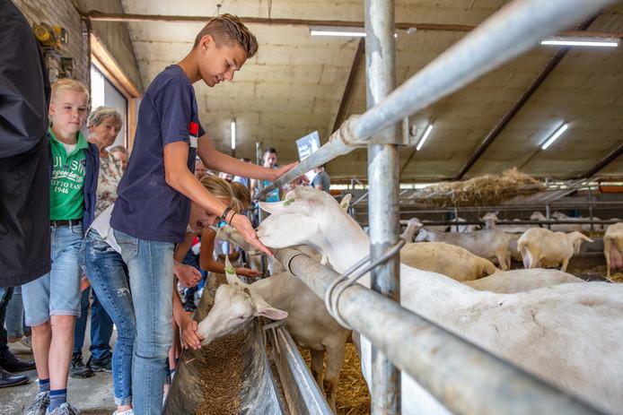Geiten aaien tijdens De Boer Op in Rijssen