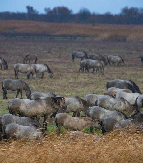 Groot deel kudde konikpaarden in Oostvaardersveld wordt verplaatst