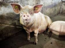 Sanering varkenshouderij in najaar van start: hoe meer stank, hoe hoger op de lijst