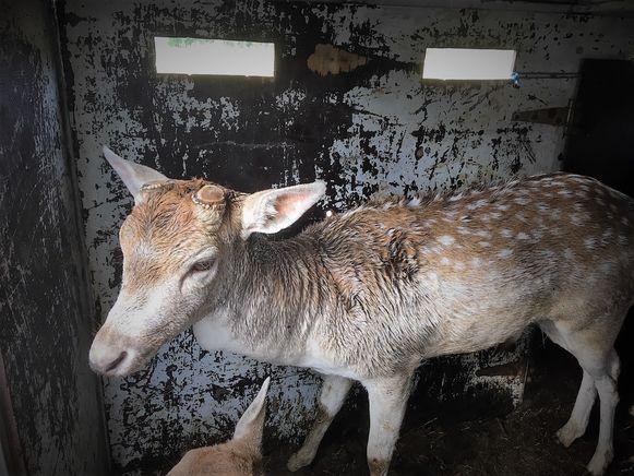 Dit damhert werd woensdagochtend gevonden op de begraafplaats van Wingene. Ondertussen zit het dier in een weide in Zwevezele te wachten op zijn eigenaar.