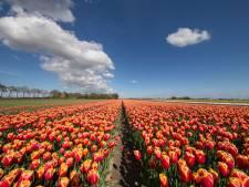 Als de zon  schijnt, kan het snel gaan met de tulpen in Flevoland