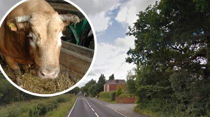 Stier ontsnapt uit slachthuis, maar wordt dan gedood door politie