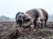 Het waren zulke lieve aaibare varkens, maar zelfs de krulstaart ligt nu in de diepvries