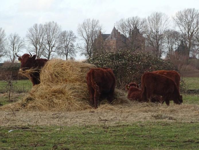 De koeien in het Munnikenland krijgen extra eten.