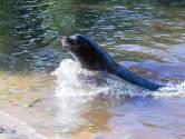 Zeeleeuwen ontdekken  de nieuwe watergangen in verblijf Beekse Bergen