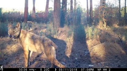 De wraak van wolvin Naya: Vlaming keert zich tegen jagers