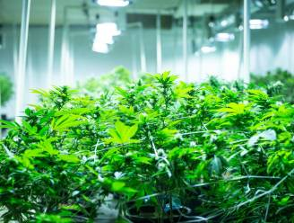 Cannabisplantage met 2.700 planten levert vier jaar cel op