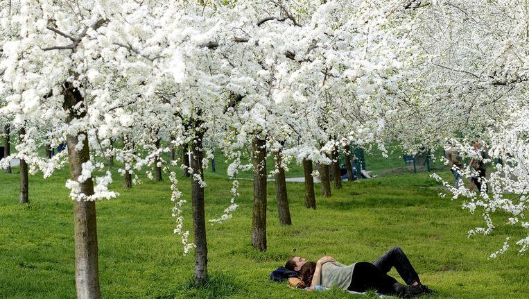 Bloesems veroveren Limburgse fruitstreek vanaf dit weekend | Wetenschap &  Planeet | HLN