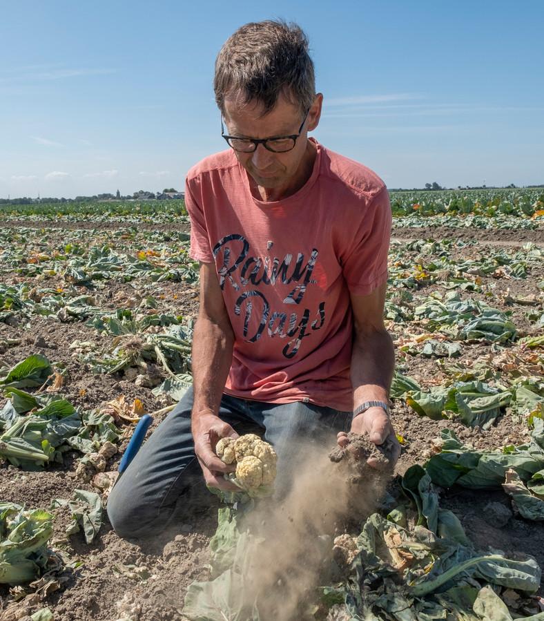Door de droogte mislukte afgelopen zomer de bloemkolenoogst van André Slootmaker uit Nieuwerkerk.