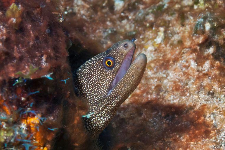 Een goldentail moray bij Sint Eustatius. Beeld Marion Haarsma
