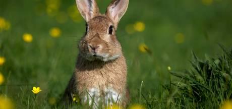 Campagne moet Belgen meer konijn doen eten: dierenorganisaties over de rooie