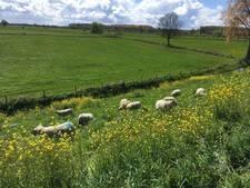 Schapen 'maaien' het gras van de Ooysedijk in Oud-Zevenaar