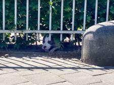 Brabants echtpaar met jonge baby vlucht voor pitbull, waakhond bijt meerdere voorbijgangers
