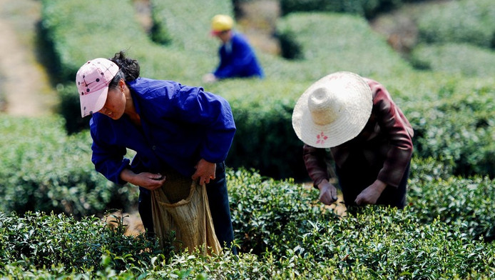 Het oogsten van groene thee.
