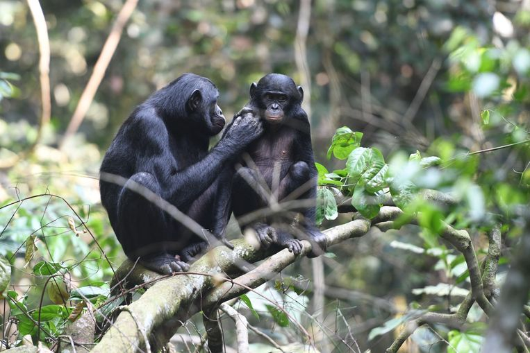 Bonobomoeders helpen hun zonen zich voort te planten.
