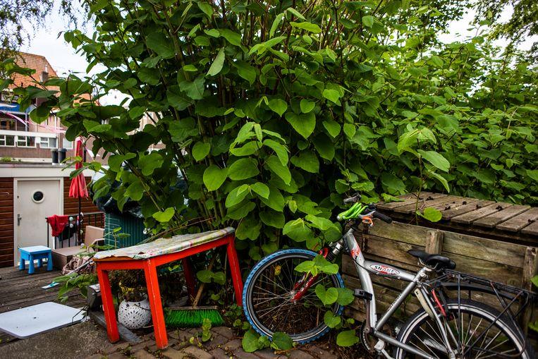 Japanse duizendknoop groeit razendsnel en dringt overal doorheen. Beeld Lin Woldendorp