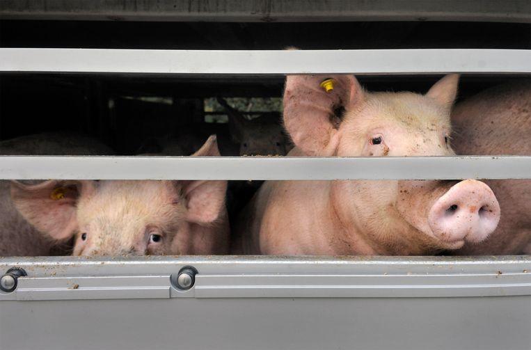 Transport van varkens. Beeld Hollandse Hoogte / Flip Franssen