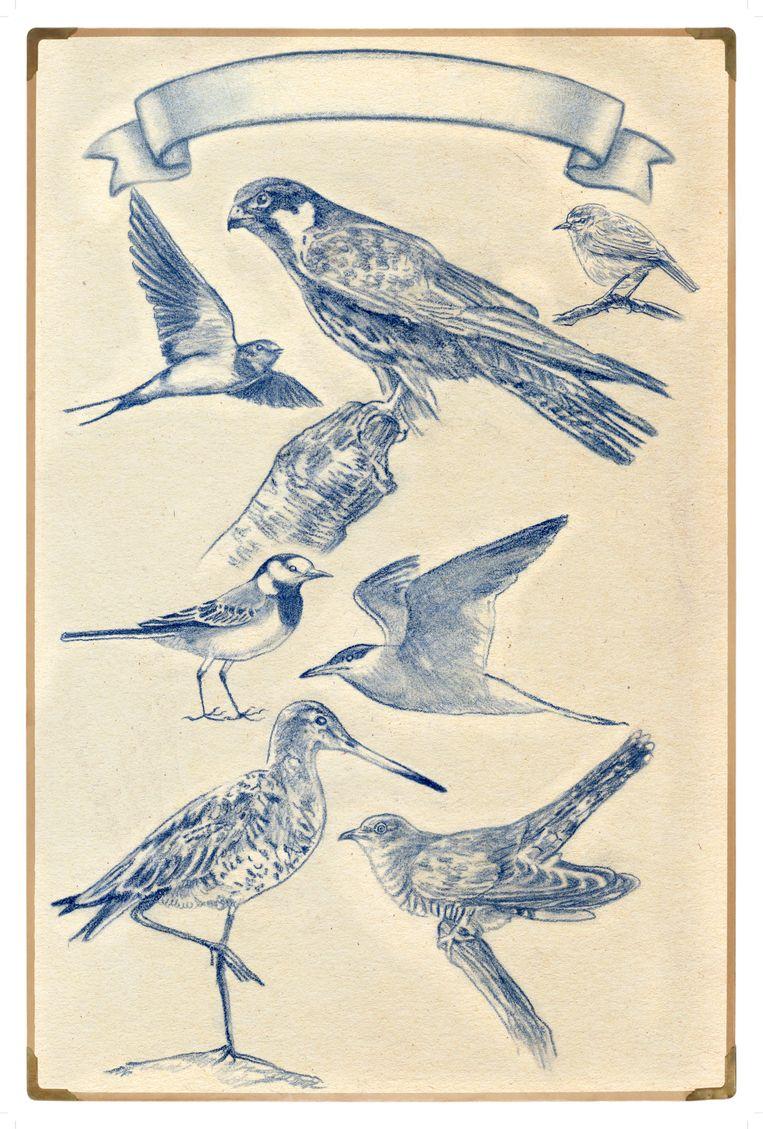 Zeven vogels die in de lente arriveren en de zomer in Amsterdam doorbrengen. Beeld Tzenko Stoyanov