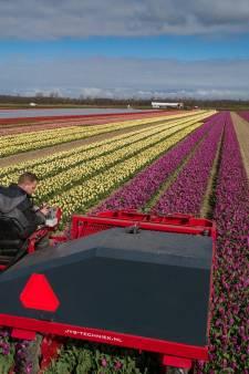 Tulpenpracht tussen Kampen en Dronten van korte duur