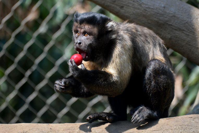 En kapucijnaapje smult van een heerlijk stukje zoet fruit in de zoo van Colombia.