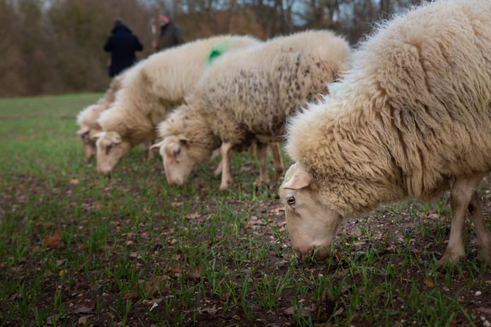 Foto ter illustratie - dit zijn niet de schapen van de verdachte veehandelaar.