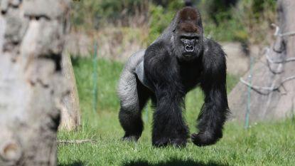Kijkt Donald Trump nu echt de hele dag naar een 'gorillakanaal' op tv? Het internet is er alvast mee weg