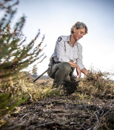 Tweede leven op golfbanen voor heide van de Sallandse Heuvelrug