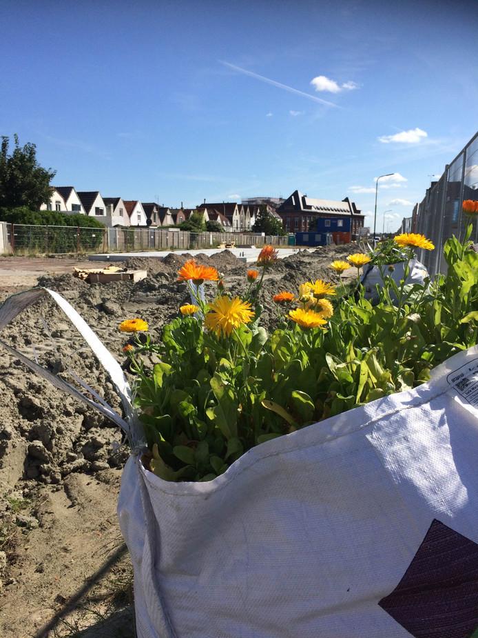 De goudsbloemen in de met zand gevulde bigbags aan de Vlissingse Willem Ruysstraat.