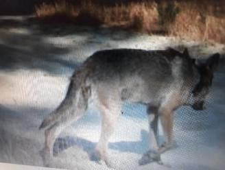 Wolf August legde minstens 350 kilometer af om bij Naya te belanden en beet zeker drie Limburgse schapen dood
